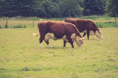 Cows grazing in a field, Lacock stock photography