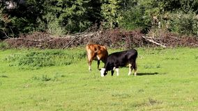 Cows grazing. In a field stock footage