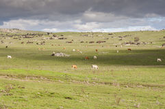 Cows grazing in the field Stock Photo
