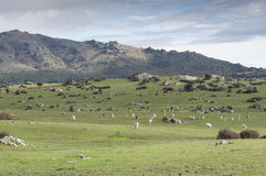 Cows grazing in the field Royalty Free Stock Photo