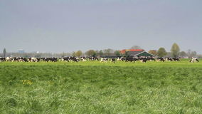 Cows grazing in a field stock footage