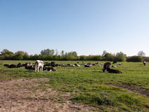 Cows grazing in a field female milked and chewing laying down. A landscape of cows resting in a green grassy field on a sunny spring day grazing Stock Image