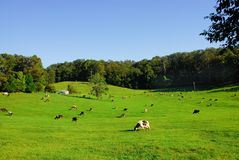 Cows Grazing in a Field of Grass. Cows grazing in a green pasture of grass on the mid north coast of Australia Royalty Free Stock Photo