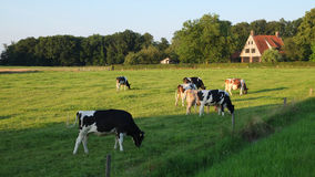 Cows grazing in the field near Ootmarsum (Overijssel, The Netherlands) on a summer evening. A small town near the German border in the Eastern part of The Stock Photo
