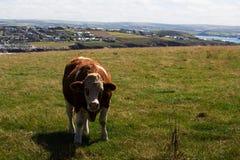 Cows grazing in a field near Polzeath Stock Photo