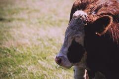 Cows grazing in a field near Polzeath Vintage Retro Filter. Stock Photos