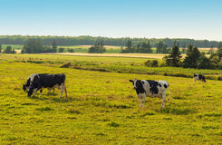 Cows grazing on a field Stock Image