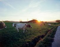 Cows grazing on a field stock images