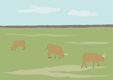 Cows Grazing in Field Royalty Free Stock Images