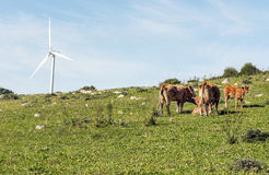 Cows grazing in the field Stock Images