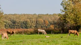 Cows grazing in the field a wonderful autumn day. With abundant trees in the background, beautiful sunny day in Voerendaal South Limburg in the Netherlands stock photo