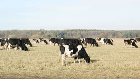 Cows grazing on fields Royalty Free Stock Images