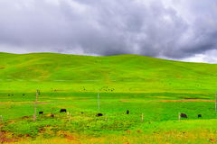 Cows grazing in fields with the foothills to the hills Stock Photography