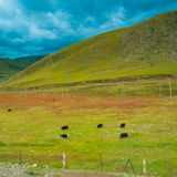 Cows grazing in fields with the foothills to the hills Stock Images