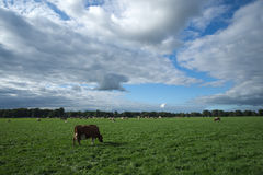 Cows grazing in the fields near Delden (Overijssel, The Netherlands). Near the small town of Delden, in a region called Twente, that lies in the Eastern part of Royalty Free Stock Image