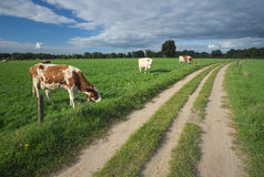 Cows grazing in the fields near Delden (Overijssel, The Netherlands) Stock Photography