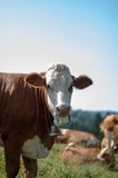 Cows grazing with flies Royalty Free Stock Images