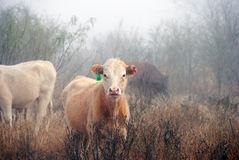 Cows grazing in fog. A view of cows grazing in on a wet, foggy morning Stock Photo
