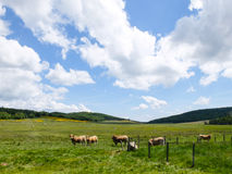 Cows grazing in France Royalty Free Stock Photo