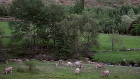 Cows grazing in freedom. stock video footage