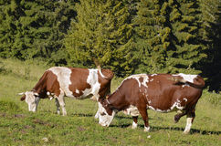 Cows grazing in French Alps stock image