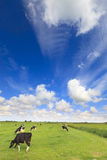 Cows grazing in a fresh green field Stock Images