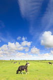 Cows grazing in a fresh green field Royalty Free Stock Image