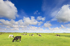Cows grazing in a fresh green field Royalty Free Stock Photography