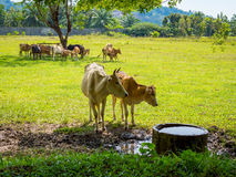 Cows grazing in a fresh green field in shadow of tree Stock Images