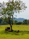 Cows grazing in a fresh green field in shadow of tree Stock Image