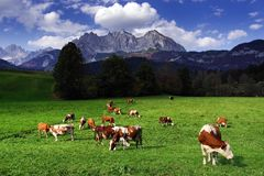 Cows grazing in front of the Wilder Kaiser Mountainsin a sunny autumn day. The Kaiser Mountains or just Kaiser, are a mountain range in the Northern Limestone stock images