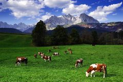 Cows grazing in front of the Wilder Kaiser Mountainsin a sunny autumn day. The Kaiser Mountains or just Kaiser, are a mountain range in the Northern Limestone stock photo