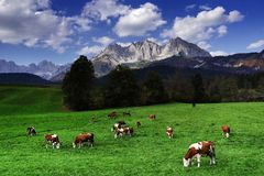 Cows grazing in front of the Wilder Kaiser Mountainsin a sunny autumn day. The Kaiser Mountains or just Kaiser, are a mountain range in the Northern Limestone royalty free stock images