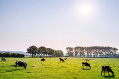 Cows grazing grass
