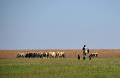 Cows grazing grass with cowherd. Cows grazing grass on meadow with cowherd stock photography