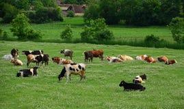 Cows grazing grass. On meadow Stock Photos