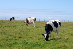 Cows grazing. On grass in a meadow or field Stock Image