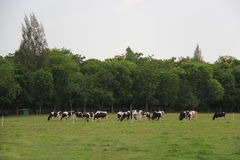 Cows grazing grass on meadow Stock Image