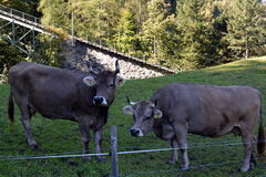 Cows grazing on the grass in the meadows of the Swiss Alps Royalty Free Stock Photo