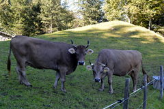 Cows grazing on the grass in the meadows of the Swiss Alps Stock Photography