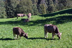 Cows grazing on the grass in the meadows of the Swiss Alps Stock Images