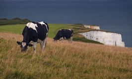 Cows grazing grass near Swanage. Cows grazing grass on the way to Old Harry rocks. The white limestone Cliff is visible in the backdrop Royalty Free Stock Images