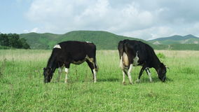 Cows grazing on grassland stock footage