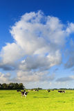 Cows grazing on a grassland in a typical dutch landscape Royalty Free Stock Photos
