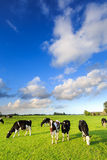 Cows grazing on a grassland in a typical dutch landscape. On a suuny day stock images