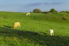 Cows grazing on grassy green field on a bright sunny day. Normandy, France. Cattle breeding and industrial agriculture Royalty Free Stock Image