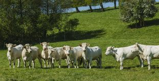 Cows grazing on grassy green field on a bright sunny day. Normandy, France. Cattle breeding and industrial agriculture Stock Photos