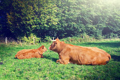 Cows grazing at green field Stock Image