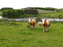 Cows grazing on a green field meadow Stock Photos