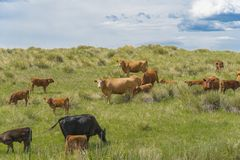 Cows Grazing In A Green Field 3. Multiple cows, of different colors, grazing in a green field on a farm stock photo